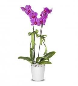 Hayal Adası 2 Dal Mor Orkide