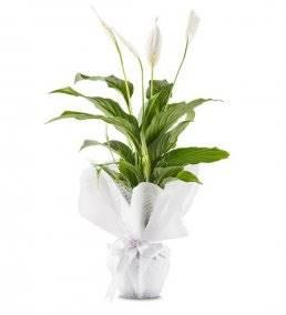 Saksıda Beyaz Spatifilyum Çiçeği