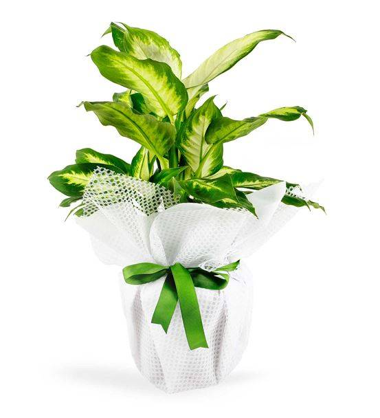 Tropic Dieffenbachia Saksı Çiçeği